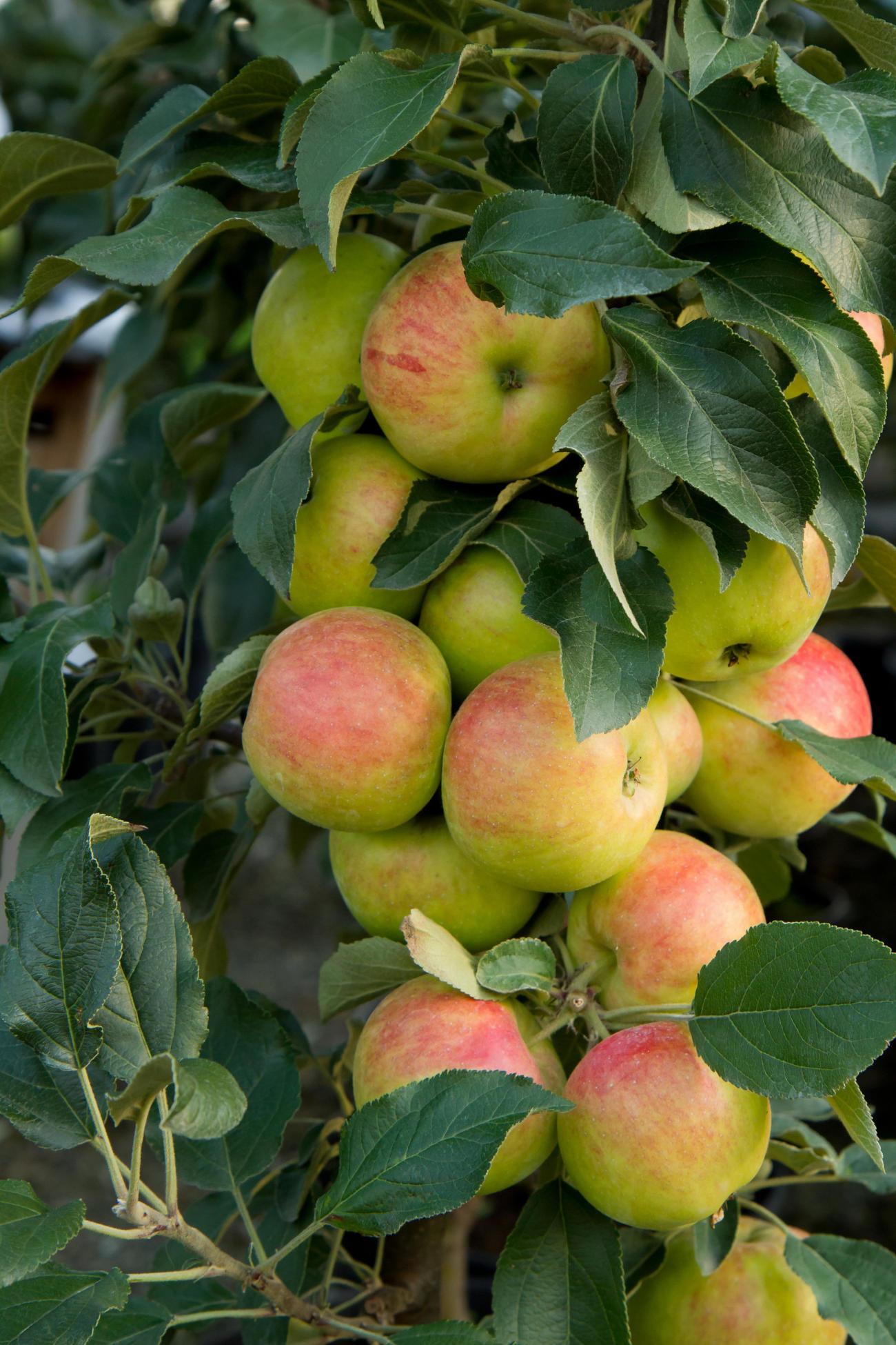 Apfelbaum mit seht viele Früchten