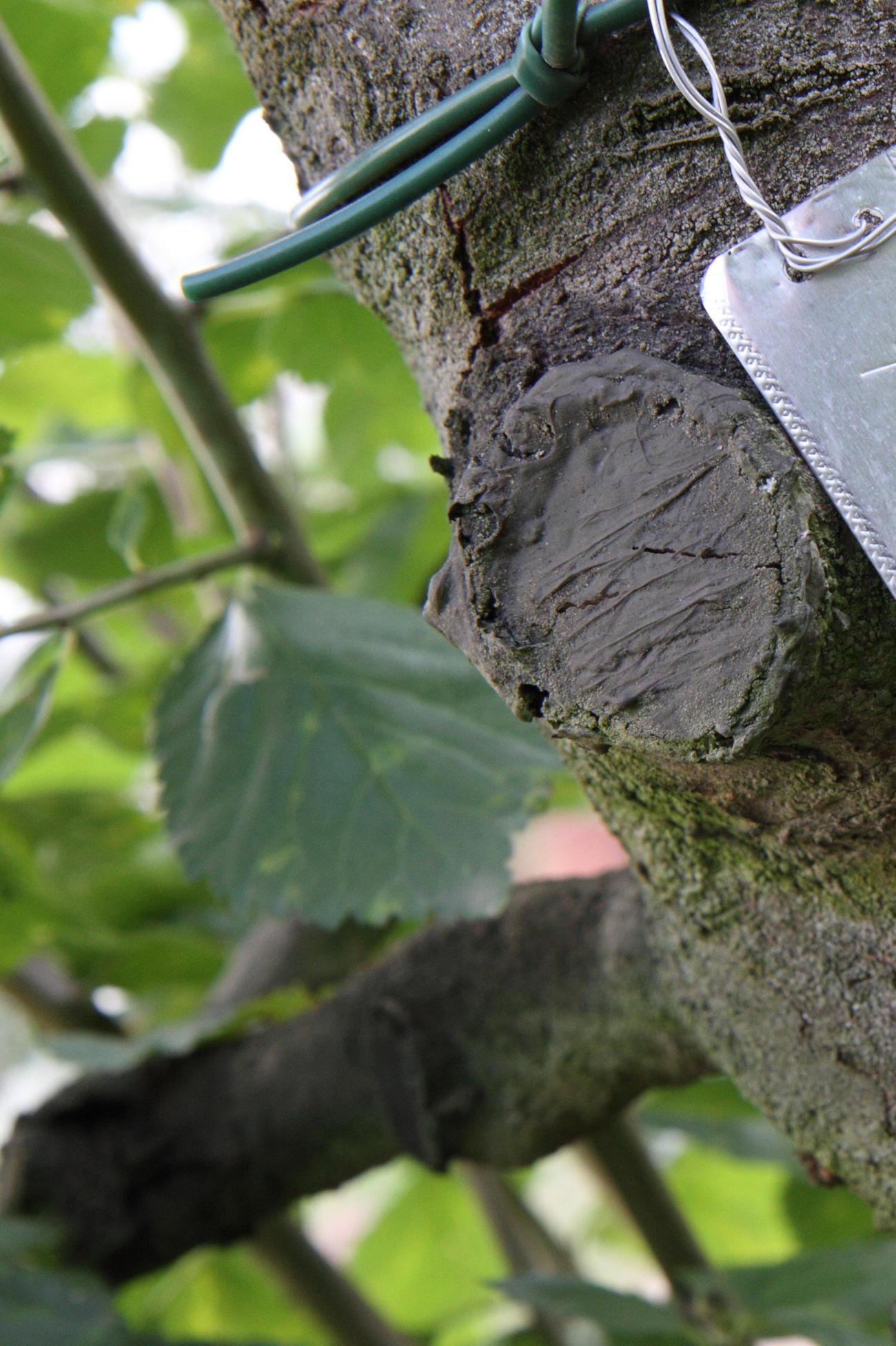 Obstbaum Schnittwunde