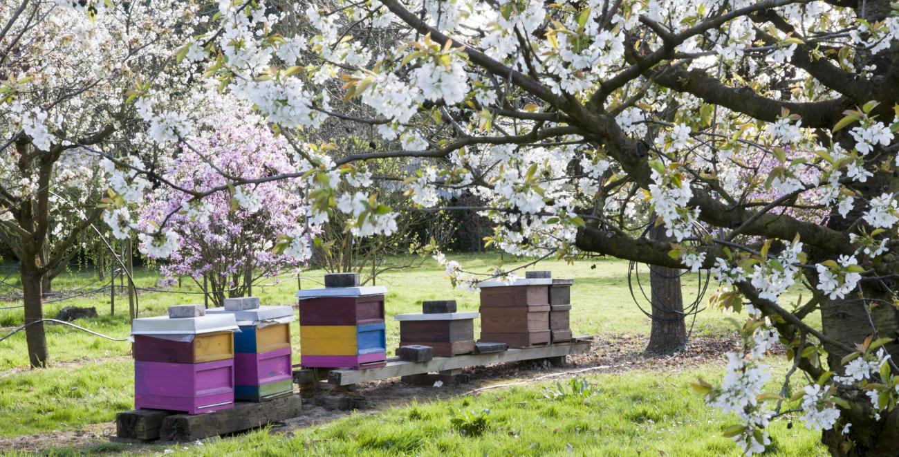 Obstbaumblüte und Bienenstöcke