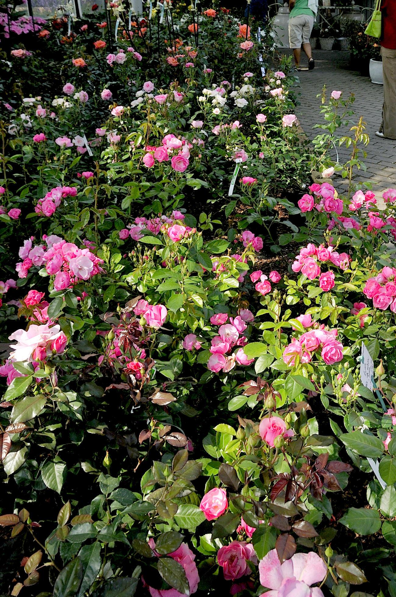 Rosen auf dem Verkaufsgelände